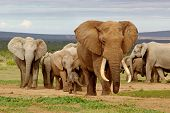 stock photo of bull  - An elephant herd led by a Magnificent  - JPG