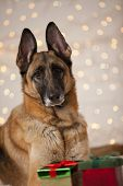 Christmas German Shepherd Dog