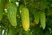 stock photo of bitter gourd  - Bitter melon hang on its vine in the farm - JPG