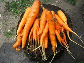 a lot of carrots