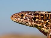 Sand Lizard Portrait Side With Blue Sky
