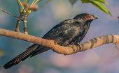Aziatische Koel, man, zat op een boomtak, ochtend licht, rode ogen, zwarte veer, kopiëren ruimte