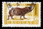 Capybara, Herbivorous Mammal