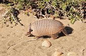 stock photo of armadillo  - Armadillo Searching for food on the wild beach in Patagonia - JPG