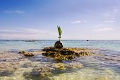 A Sprouting Coconut On A Coral Reef
