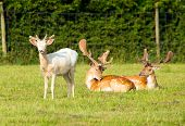 White albino and red deer in the New Forest Hampshire England