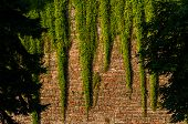 foto of climber plant  - Tall red brickwall with bright green climber plants hanging from above in Kalemegdan Fortress Belgrade Serbia - JPG