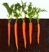 Organic carrots growing in rich dark dirt