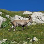 Little Walking Alpine Ibex