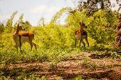 Two adult female blackbuck antelope (antilope cervicapra)