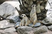 Two suricates on the alert