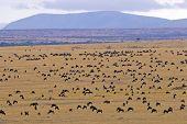 Wildebeest Migration Through Masai Mara Kenya
