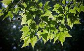 Fresh Green Plane Tree Leaves In A Back Lighting