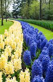 Bed Of Blue And White Hyacinths