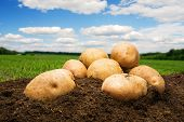 image of potato-field  - Potatoes on the ground under sky - JPG