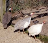 foto of peahen  - Peahens looking for the Peacock in his Pen - JPG