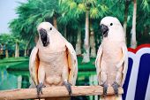 Beautiful Two White Parrots