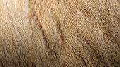 Bactrian Camel Textured Fur