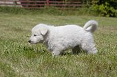stock photo of swiss shepherd dog  - White Swiss Shepherd - JPG