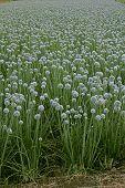 Flowers Of Onion, Allium Cepa, India