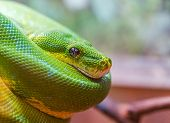 pic of green tree python  - Green snake closeup with focus on eye - JPG