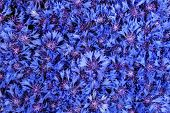 Beautiful Spring Flowers Blue Cornflower On Background. Blue Flowers Pattern