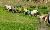 Vietnamese Farmer Sow Rice On Paddy Field