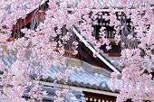 stock photo of weeping  - Weeping sakura tree with japanese temple - JPG