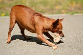 Miniature Pinscher Eat In The Park