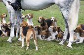 stock photo of foxhound  - A pack of hounds waiting for their master - JPG