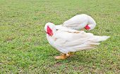 Muscovy White Duck Clean Itself On Green Grass.
