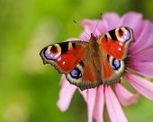 European Peacock butterfly on Purple Coneflowers (Echinacea)