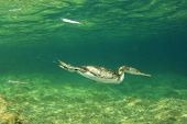 Cormorant bird swimming underwater