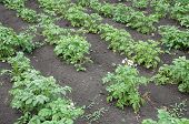 Straight Vegetable Beds In A Potato Field