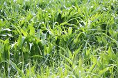 young green corn plants on a field.