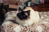 Birman Cat On Bed