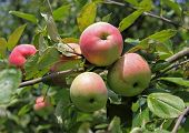 Ripen Red Apples On A Branch