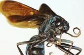 A Close Up Of A Tarantula Hawk Wasp
