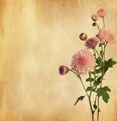 foto of chrysanthemum  - Paper texture with pink chrysanthemum - JPG