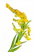 picture of goldenrod  - Flowering plant Canada goldenrod it is isolated on a white background - JPG