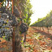 Bunches Of Wine Grapes Growning In Vineyard