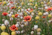 Field of flowers. Shallow DOF