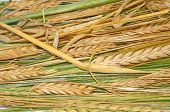 Ripe And Green Wheat As Background