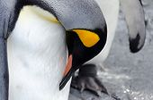A Common Penguin Clean Clean Its Feather With Its Beak