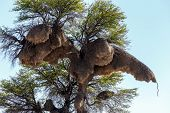 pic of african mask  - African sociable weaver big nest on tree african landscape Kgalagadi Transfrontier Park Botswana true wildlife - JPG
