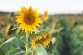 Sunflowers in a field in the afternoon.