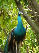 pic of indian peafowl  - A indian or blue ribbon peacock  - JPG