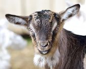 pic of baby goat  - Baby Goat portrait in early spring at farm