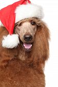 image of standard poodle  - Royal poodle in Christmas Red hat - JPG