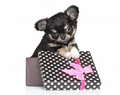stock photo of chiwawa  - Chihuahua puppy in gift box on a white background - JPG